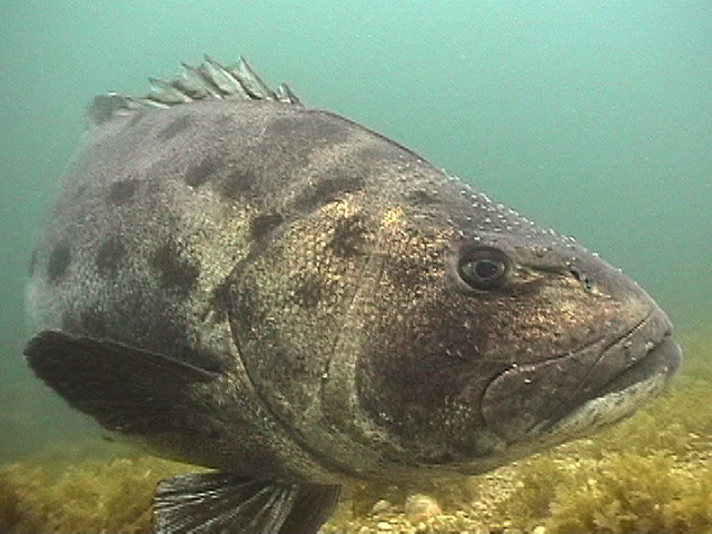 Black20Sea20Bass2.jpg