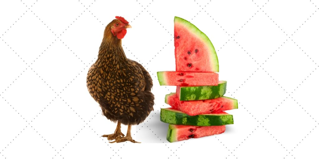 can-chickens-eat-watermelon.jpg
