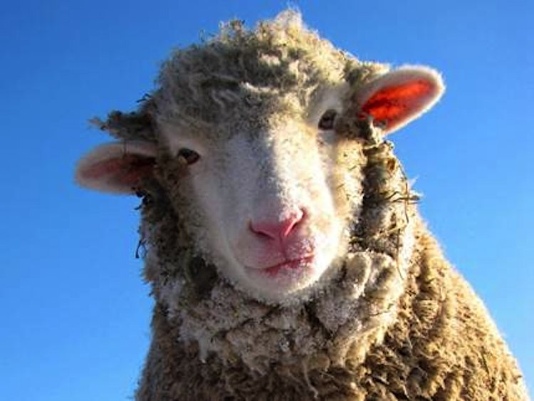 sheep-face-Farm-Sanctuary-submitted.