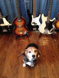 Beagle Bass